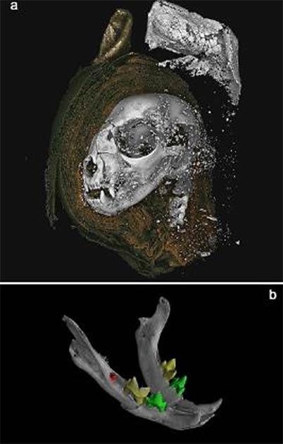 Representaciones 3D a partir de datos micro CT. A) cabeza de gato momificada obtenida a partir de datos de tomografía. Una disección digital, quitando envolturas en el lado izquierdo de la cabeza, dejando al descubierto el hueso y material atenuador superior utilizado para endurecer la envoltura externa de las orejas. B) Mandíbula con cabeza de gato, con dientes segmentados, revelando primeros molares mandibulares no erupcionados. (Nature)