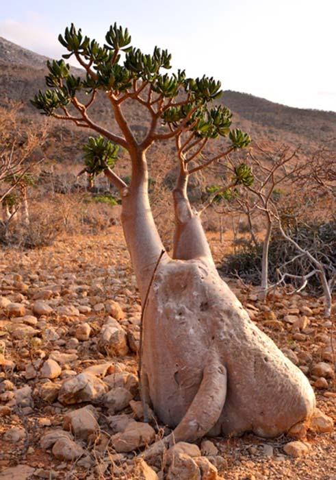 Árbol botella, conocido también como Rosa del Desierto, isla de Socotora (CC by SA 2.0)