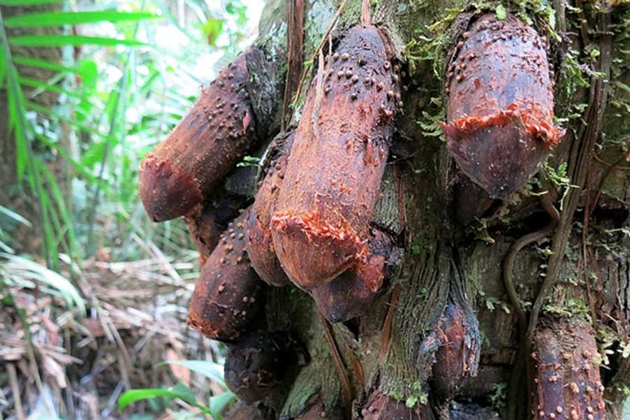 """El """"árbol pene"""" de la selva amazónica (CC by SA 4.0)"""