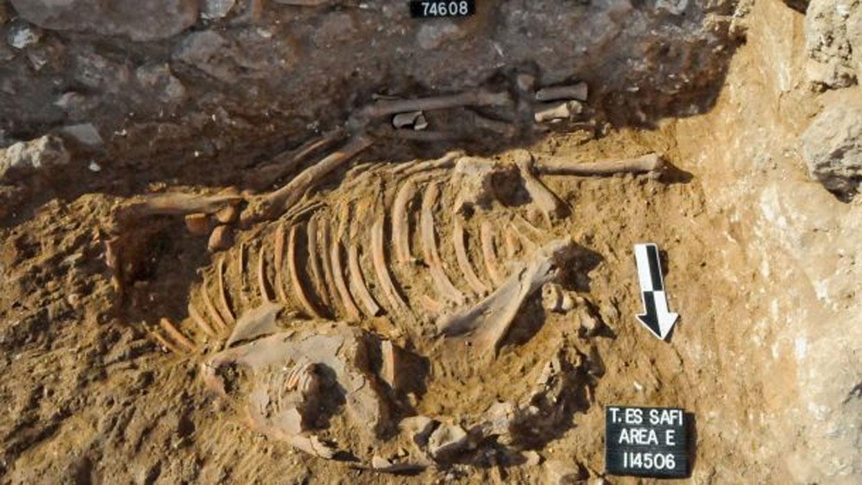 Asno sacrificado en un ritual cananeo, restos óseos descubiertos 'in situ' en el yacimiento de Tell es-Safi (Gat). El análisis de sus dientes ha demostrado que nació y fue criado en el antiguo Egipto. Fotografía: Richard Wiskin.