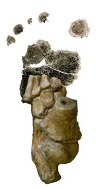 Éste es el pie de una niña Australopithecus afarensis de hace 3,32 millones años descubierto en Dikika, Etiopía, superpuesto sobre la huella de un niño humano. (Jeremy DeSilva)