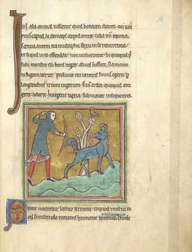 Folio 16 de un bestiario del siglo XIII, el Bestiario de Rochester (British Library, Royal MS 12 F XIII), en cuya ilustración podemos observar un bonacon. (Dominio público)
