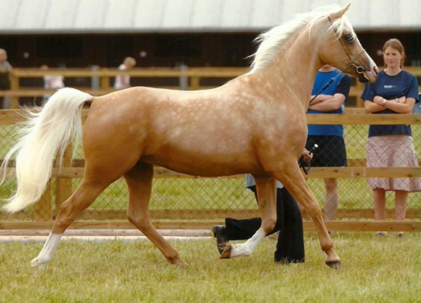 La coloración del caballo palomino varía desde un dorado intenso hasta un color crema dorado, con la cola y las crines blancas (Bordesley Palomino Stud)