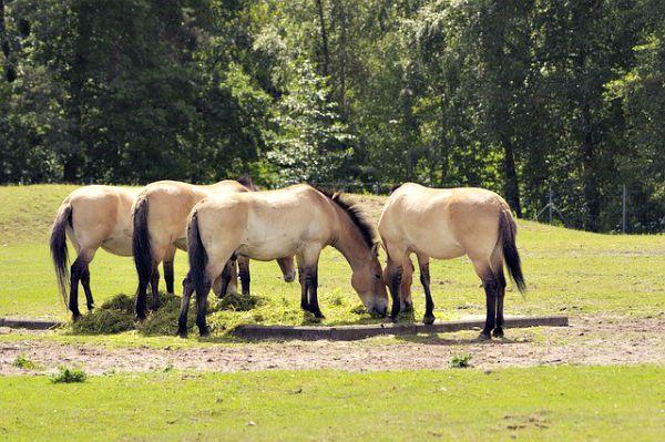 Ejemplares de actuales caballos de Przewalski (Pixabay)