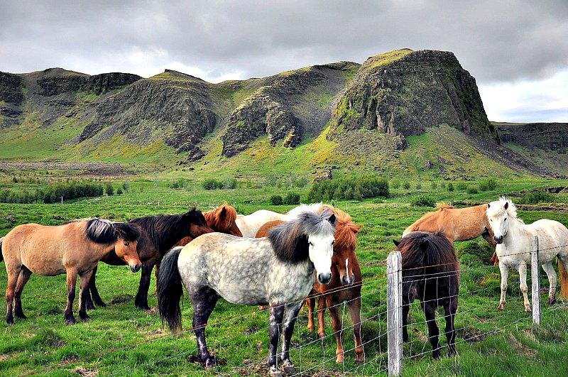 Los vikingos fueron los que llevaron los caballos 'ambling' hasta Islandia. (Jennifer Boyer /FLICKR )