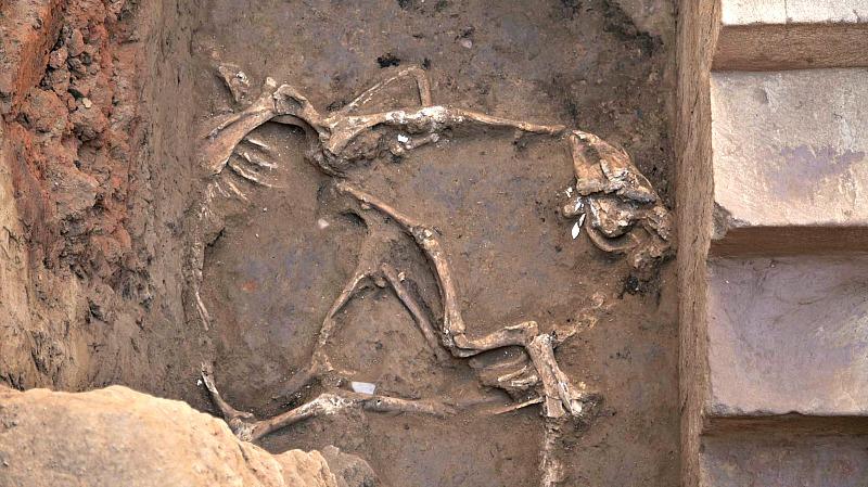 Los restos de los dos caballos sacrificados en el yacimiento tartésico del Turuñuelo. (Fotografía: Santi Burgos/El País).