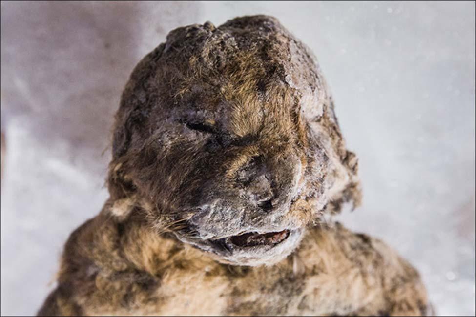 Los científicos quieren obtener tanta información como sea posible de estos dos cachorros congelados, aunque ocasionando el 'mínimo daño posible a estos antiguos leones de las cavernas'. Fotografía: Vera Salnitskaya