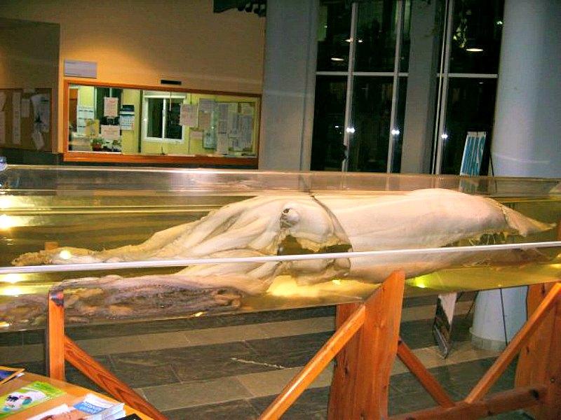 Ejemplar de calamar gigante, conservado y expuesto en la Facultad de Ciencias del Mar de la Universidad de Vigo, España. (Dylanmonch vigote/CC BY-SA 3.0)