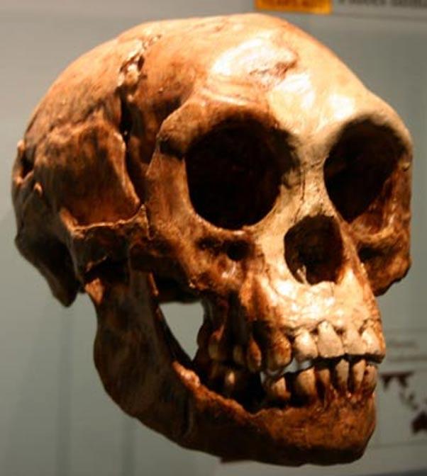 Cráneo perteneciente a un Homo floresiensis, según Chris Stinger más cercano al género Australopithecus que al Homo sapiens. (Wikipedia).