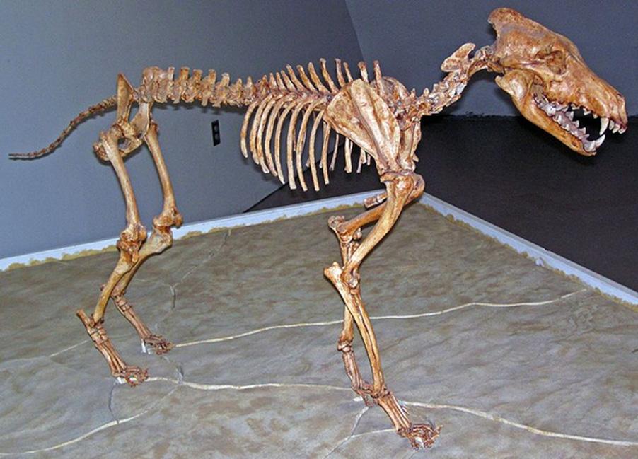 Canis dirus Leidy, 1858 – esqueleto de un lobo gigante del Pleistoceno que habitó en Norteamérica. (CC BY 2.0)