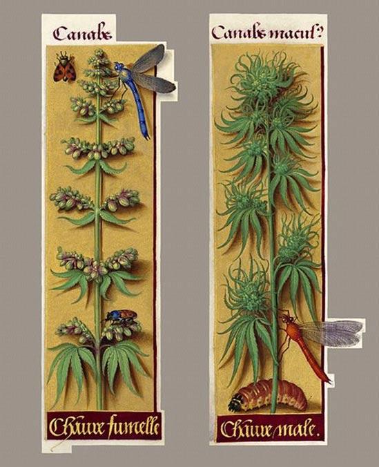 """Cannabis Sativa, tal y como aparece en las """"Grandes Horas"""" de Ana de Bretaña, (1505-1508). Aquí tenemos, probablemente, la pintura botánica más antigua de la planta en el mundo occidental (macho y hembra). (Wikimedia Commons)"""