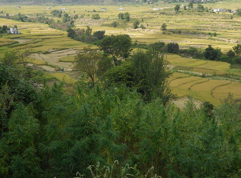 Cáñamo silvestre en Uttarakhand, India (Wikimedia Commons)
