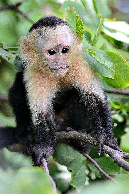 Joven capuchino de cabeza blanca, Parque Nacional Palo Verde, Costa Rica. (Gouldingken/CC BY-SA 3.0)