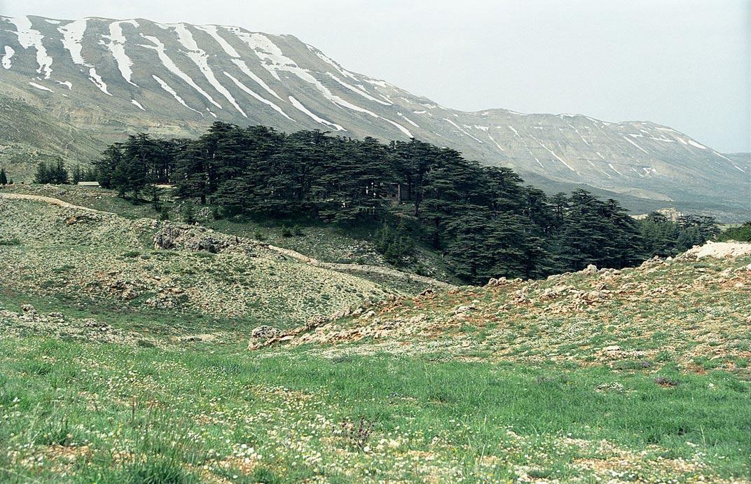 """Los primeros traductores de la Saga dieron por hecho que la expresión """"Bosque de los Cedros"""" se refería a Cedros del Líbano. En la foto, un bosque de cedros en el Líbano (Wikipedia)"""