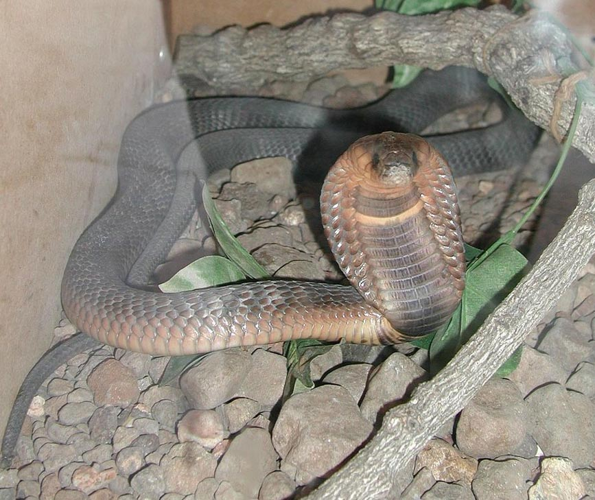 Cobra egipcia (Foto: John Walker/Wikimedia Commons)