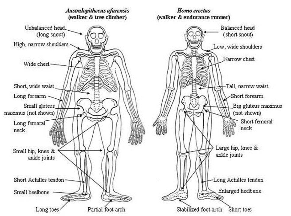 Comparación de las anatomías de un Australopithecus afarensis y un Homo erectus. (Laszlo Meszoly, Universidad de Harvard)