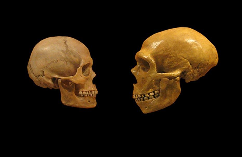 Comparación de las calaveras de un humano moderno y un Neandertal, Museo de Historia Natural de Cleveland. (CC BY SA 2.0)