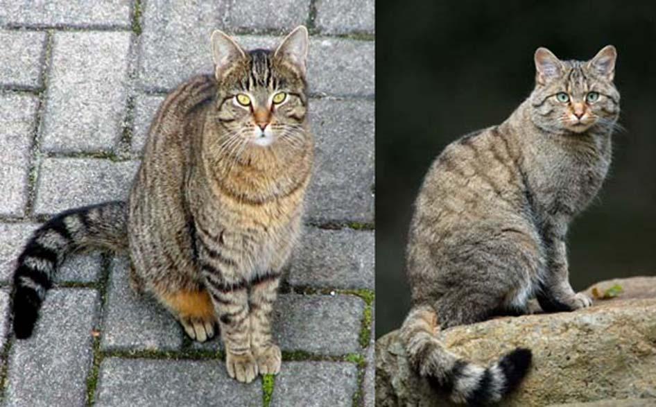 Derecha, Gato salvaje europeo (F. s. silvestris) con un pelaje similar al del gato doméstico atigrado (izquierda). Se cree que el pelaje atigrado tiene su origen en las numerosas subespecies originales del gato salvaje. (CC BY SA 3.0)