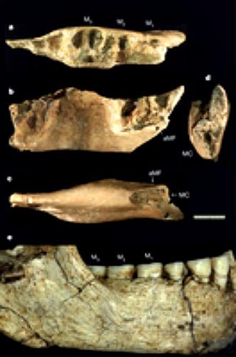 Mandíbula del individuo SOA-MM4, arriba, vista superior (a), lateral (b), inferior (c) y anterior (d), comparada con la de uno de los 'Homo floresiensis' de Liang Bua (LB6/1, abajo). (Fotografía: Nature)