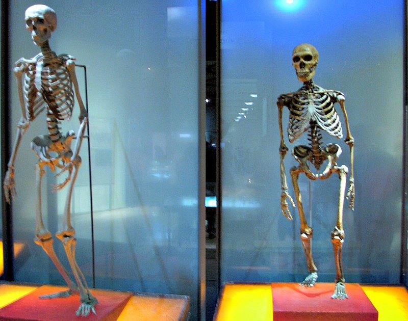 Neandertales y Homo sapiens coincidieron en el tiempo y el espacio durante bastantes generaciones. En la imagen, comparativa entre un esqueleto de Homo sapiens (izquierda) y otro de Neandertal (derecha). Museo Americano de Historia Natural de Nueva York, Estados Unidos. (Marcus Nunes/Flyckr)