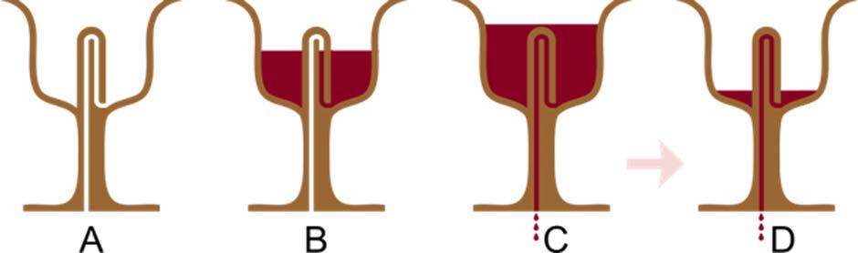 Sección axial de una Copa Pitagórica llenándose: en B, aún se puede beber de la copa, pero en C el efecto sifón provoca que la copa se vacíe. (Nevit Dilmen/CC BY SA 3.0)