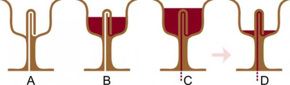Sección axial de una Copa de Pitágoras llenándose: en B, aún se puede beber de la copa, pero en C el efecto sifón provoca que la copa se vacíe. (Nevit Dilmen/CC BY SA 3.0)