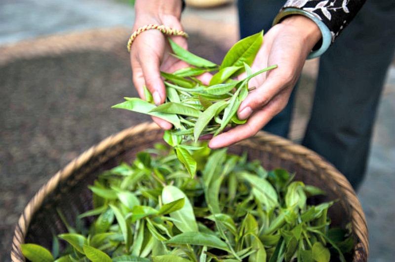 En la antigüedad se creía que el té debía ser cosechado por virtuosas mujeres vírgenes, de elevada moral e indiferentes a la fama y a la fortuna. (Fotografía: La Gran Época/ Alex Treadway)