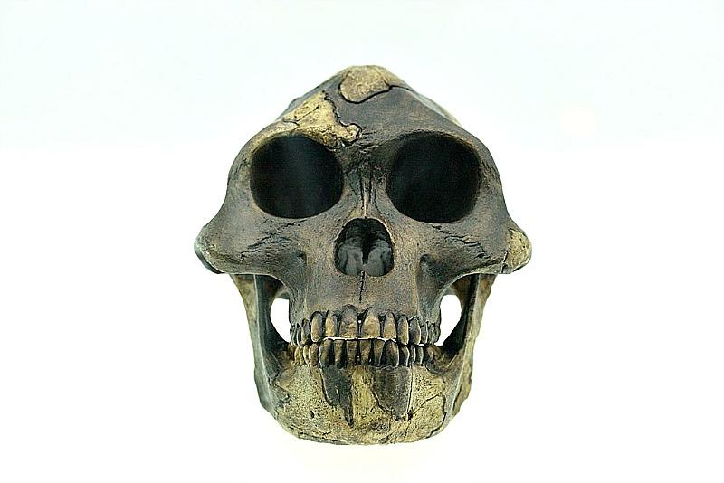 Reconstrucción del cráneo de Lucy. Museo de Historia Natural de Basilea, Suiza. (Pbuergler/CC BY-SA 3.0)