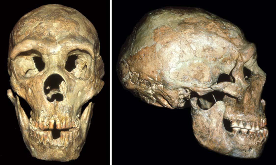 El cráneo del Neandertal conocido como Shanidar 1 muestra señales de un golpe en la cabeza que recibió a una edad temprana. (Fotografías: Cortesía de Erik Trinkaus)