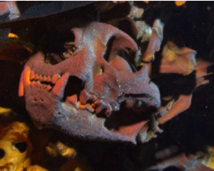 Cráneo de un carnívoro hallado en el Hoyo Negro (HoyoNegro.org)