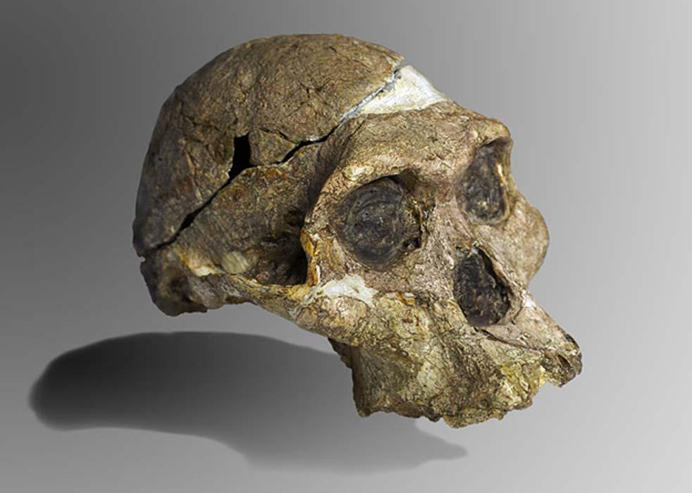 Cráneo completo original (sin dientes superiores ni mandíbula) de un espécimen de Australopithecus africanus de hace 2,1 millones de años conocido popularmente como Sra. Ples y descubierto en Sudáfrica. (José Braga; Didier Descouens/CC BY SA 4.0)