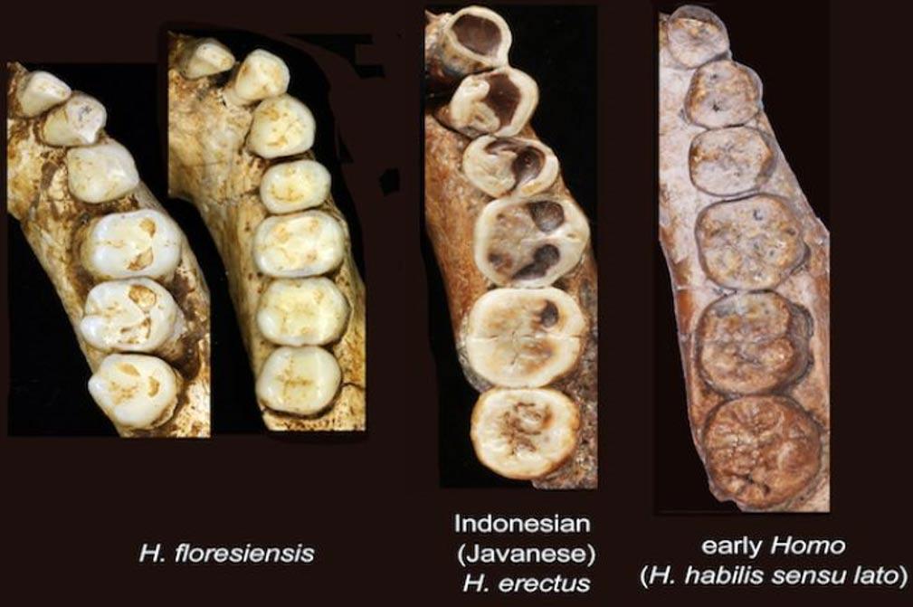 """Los dientes del """"Hobbit"""" presentaban características tanto de humanos modernos como primitivos, y se descubrió que eran muy similares a los del Hombre de Java. Fotografía: Yousuke Kaifu"""