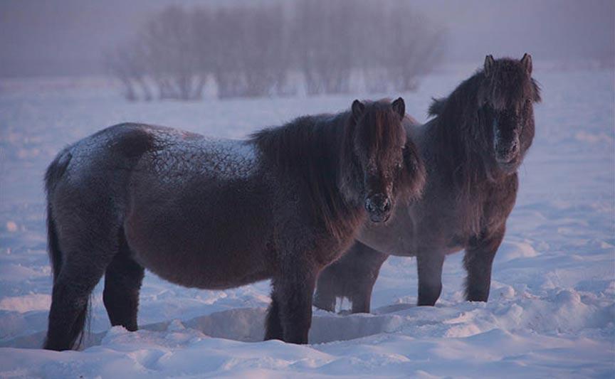 Dos-caballos-yakutos.jpg