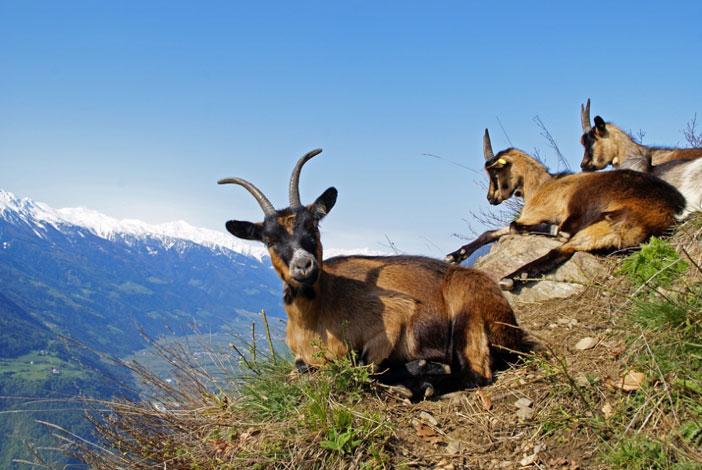 El kulning era utilizado en la Edad Media por las mujeres escandinavas que se dedicaban al pastoreo para llamar a su rebaño. (JAFO/Adobe)