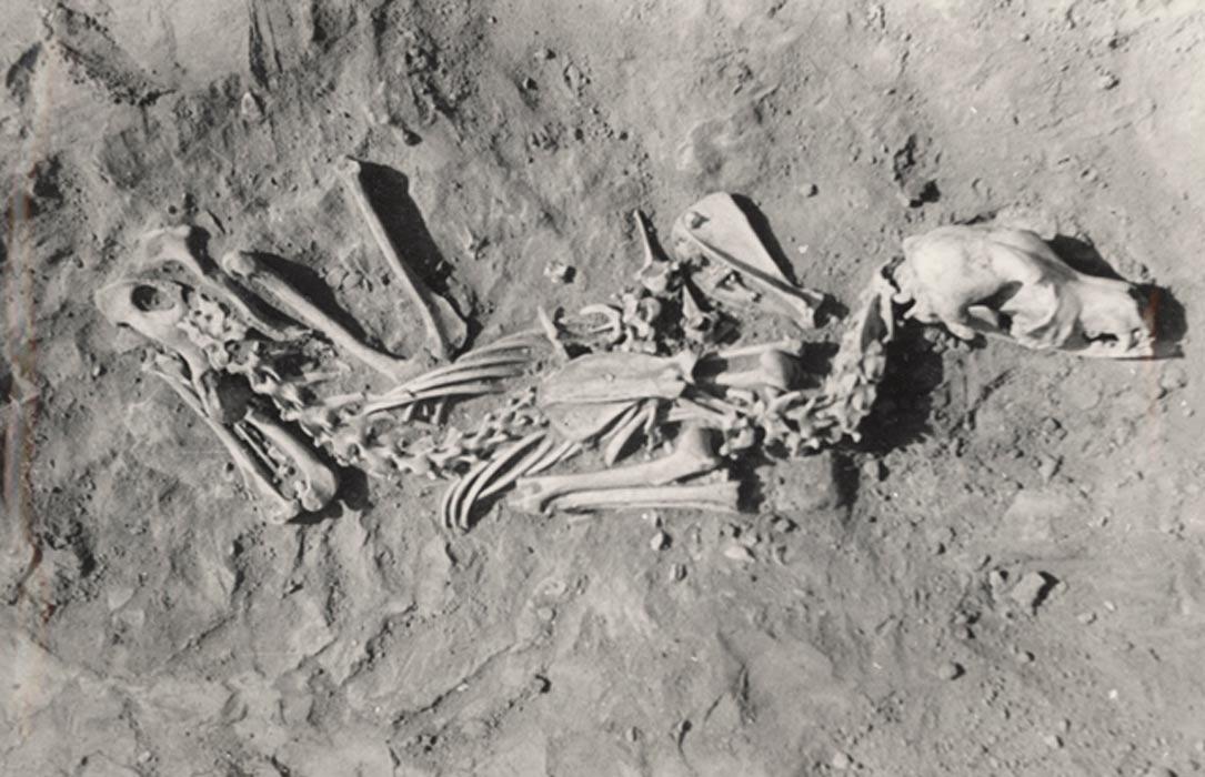 Este perro fue enterrado en una posición similar a la que adoptaría si estuviera sentado o agachado. Fotografía: Losey et al. (2013)