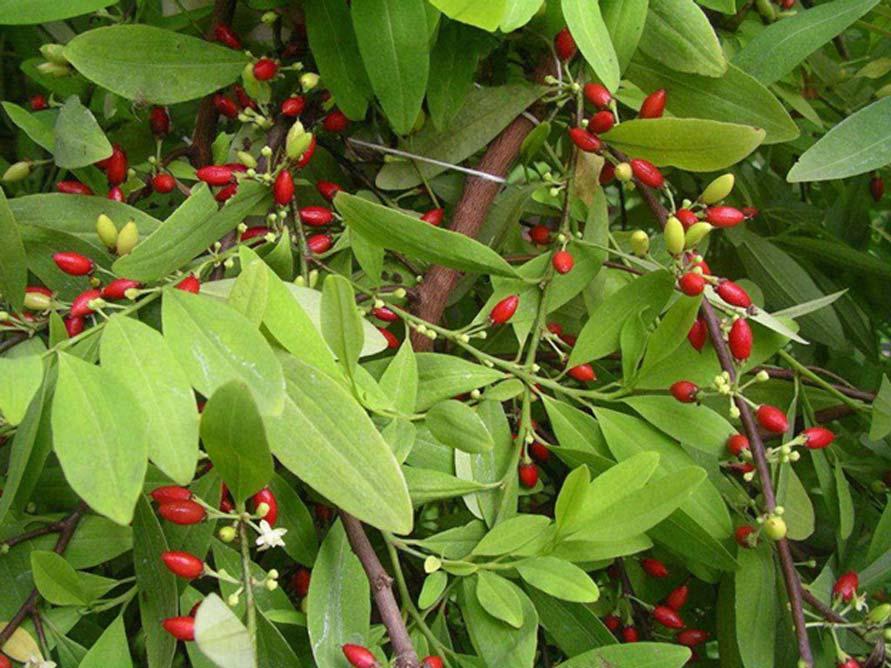 Erythroxylum novogranatense, la planta de coca nativa de Sudamérica. (CC BY-SA 3.0)