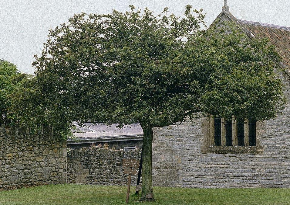 El espino de Glastonbury junto a la abadía, en una fotografía de 1984. Este árbol murió en el 1991 y fue retirado al año siguiente. (CC BY-SA 3.0)