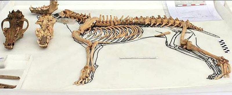 Uno de los esqueletos caninos recuperados por los expertos en el año 2012. (Fotografía: RPP Lima)