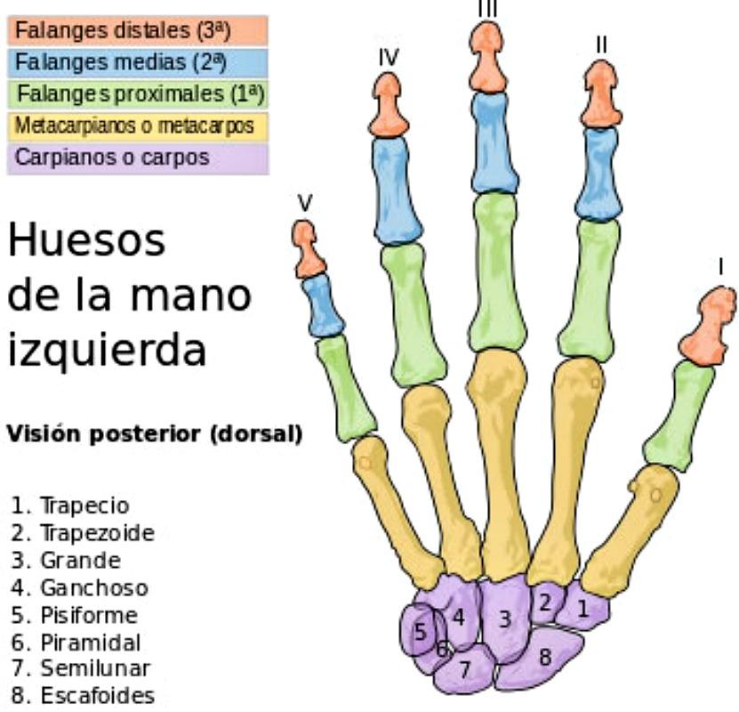 Figura 1: Estructura ósea de una mano izquierda humana. Fuente: Wikipedia