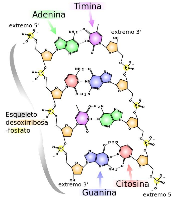 Estructura química del ADN: dos cadenas de nucleótidos conectadas mediante puentes de hidrógeno, que aparecen como líneas punteadas. (Miguel Sierra/CC BY-SA 3.0)