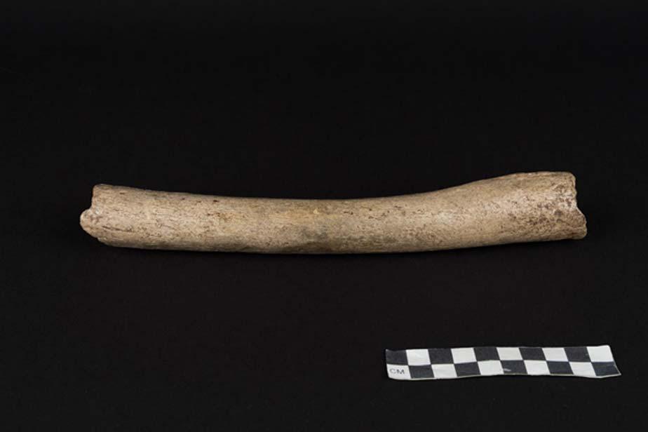 El hueso (un fémur) que ha aportado los datos genéticos del ADN mitocondrial ha resultado pertenecer a la rama Neandertal. Fotografía: Oleg Kuchar © Photo Museum Ulm