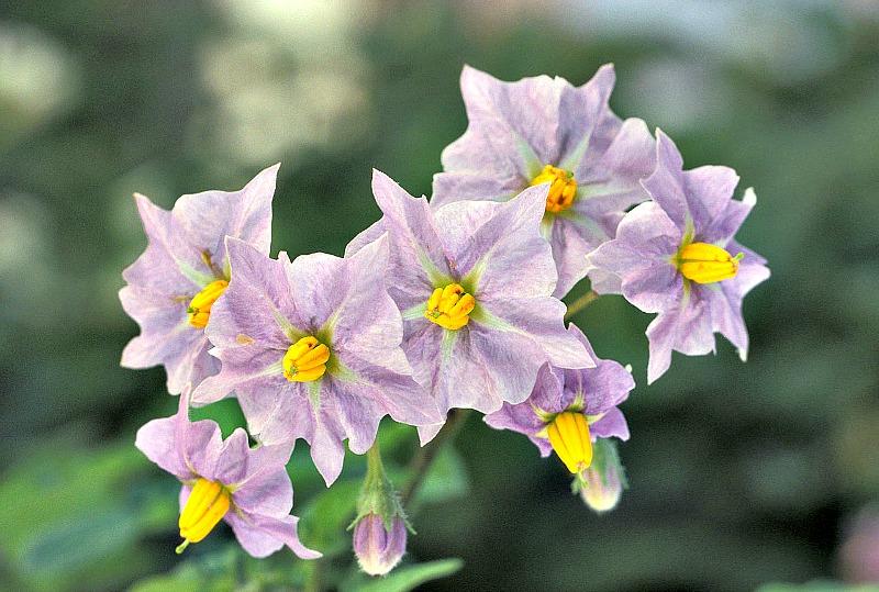 Flor de la papa. (Public Domain)