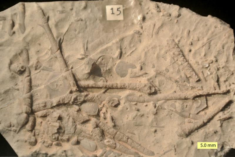 Fotografía de típico fósil de equinoideo en estado fragmentario. En la imagen se pueden apreciar púas y restos del caparazón (Public Domain)