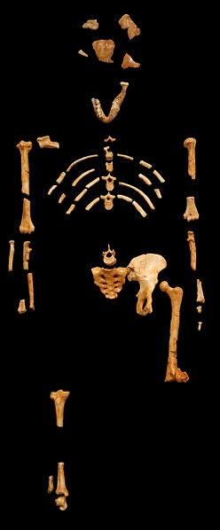 """Restos fósiles de """"Lucy"""". (CC BY-SA 3.0)"""