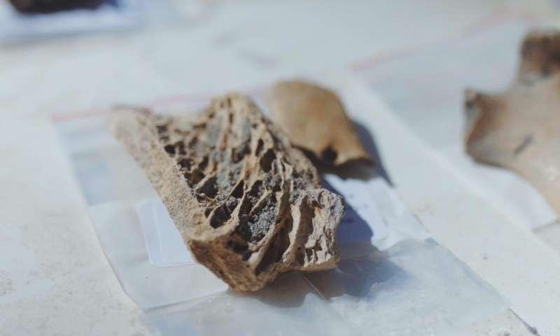 Fragmento de hueso de moa trabajado en parte -probablemente con la intención de fabricar un anzuelo. (Cinema East)