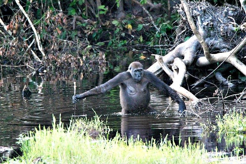 Esta hembra adulta de gorila del Parque Nacional de Nouabalé-Ndoki, en el norte del Congo, usa una rama como bastón y para medir la profundidad del agua, lo que demuestra que los gorilas también utilizan herramientas. (CC BY-SA 2.5)