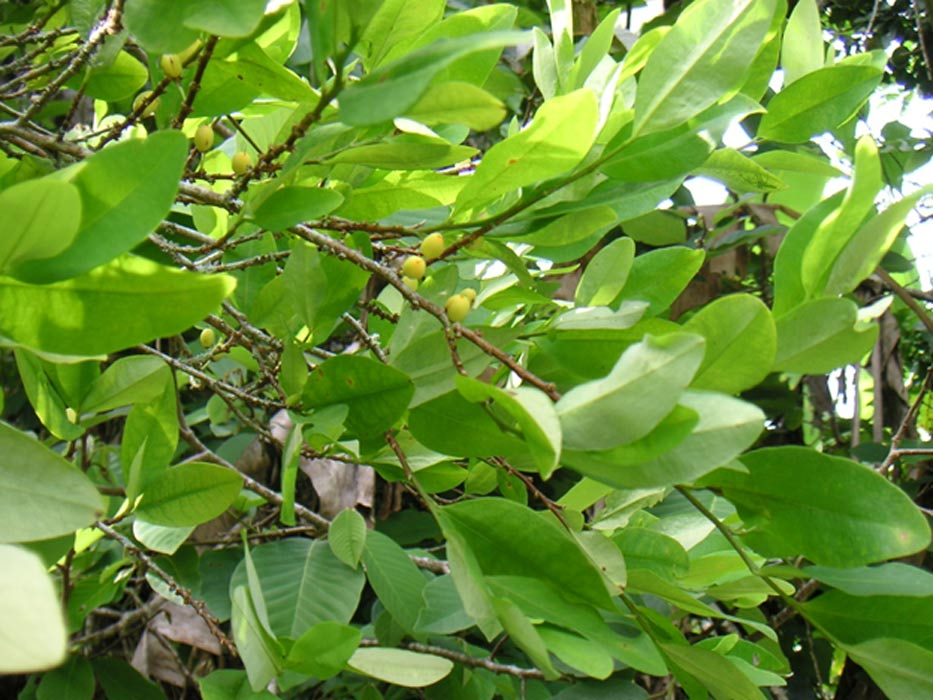 hojas-de-coca