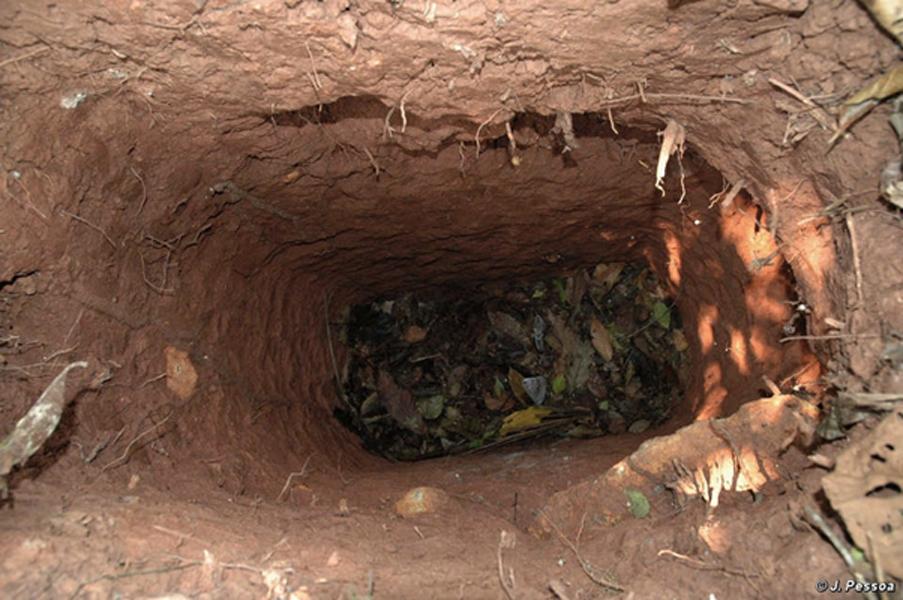 El 'hombre del agujero' cava profundos agujeros para atrapar animales y tal vez también para ocultarse en su interior. (Imagen: J. Pessoa, Survival International)