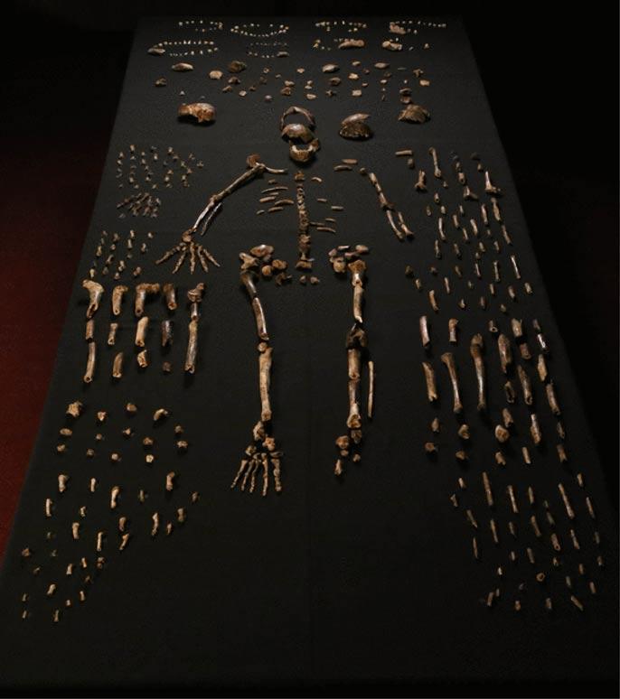 """Los huesos fosilizados del denominado """"Homo Naledi"""" recuperados de la cueva de la Estrella Naciente (Rising Star cave) de Sudáfrica. Foto: Lee R Berger et al./Creative Commons"""