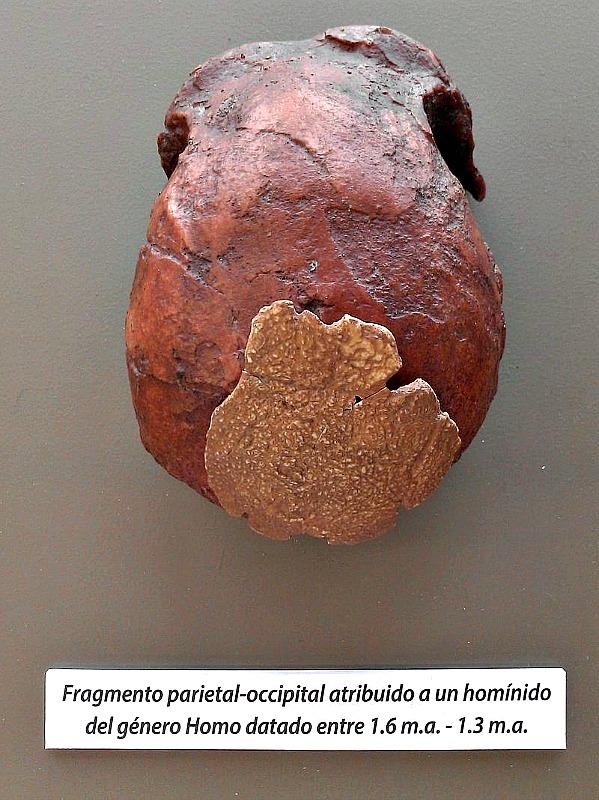 Réplica del hueso catalogado como VM-0 del llamado Hombre de Orce. (Nachosan/CC BY-SA 4.0)